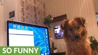 Dog howls along to random MacBook sounds