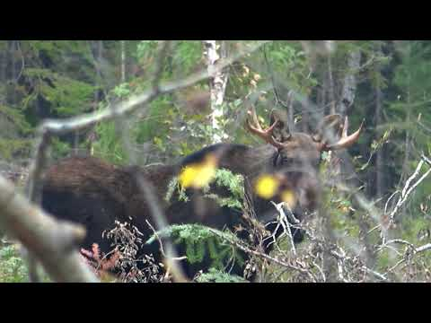Monarch Of The Forest           Quebec Moose 2019