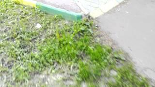 Луговой газон подстрижен как партерный в Подольске - 2