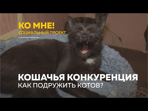 Вопрос: Как подружить взрослых кошек?