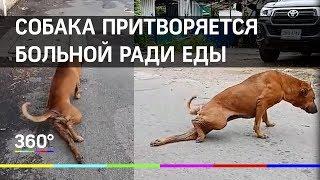 Собака-попрошайка притворяется больной ради еды