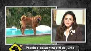 """""""perros En Acción"""" Chinese Shar Pei Club Argentino"""