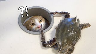 Save Us! The Cats Are Scared Stiff of Crabs! (ENG SUB)