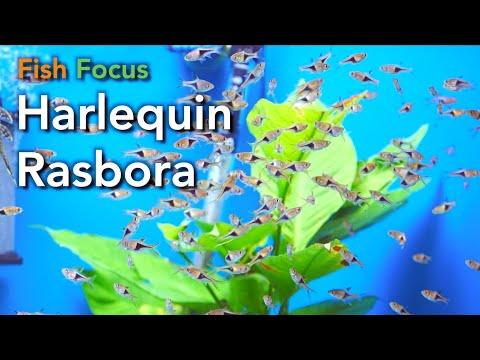 Fish Focus - Harlequin Rasbora