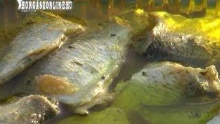 Repeat youtube video Olajos hal készítése házilag - horgaszonline.hu - Halételek, olajoshal