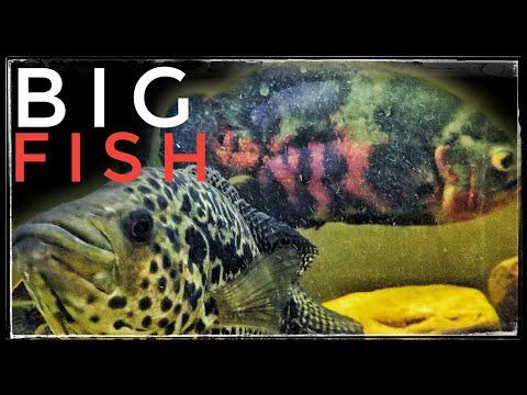 Big South American Cichlid Community Tank!