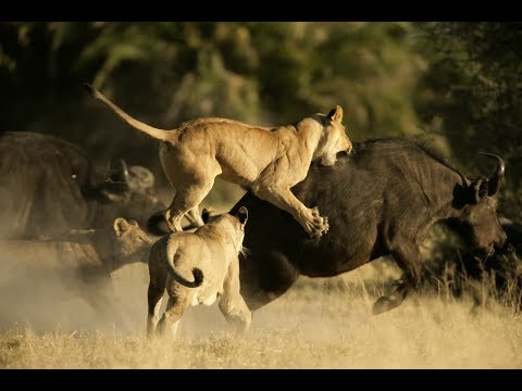 National Geographic Documentary - Buffalo vs Lion