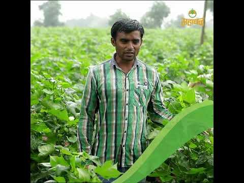 खरे शेतकरी, खऱ्या गोष्टी. श्री. हर्षल अंबाला बडगुजर, पीक: कपाशी