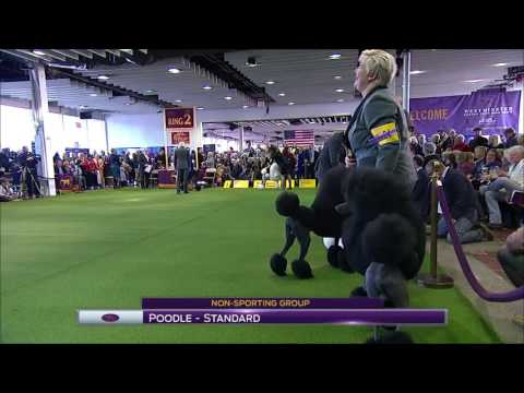 Poodle Standard Westminster Kennel Club 2017