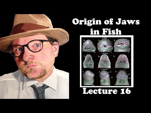 Lecture 16 Origin Of Jaws In Fish