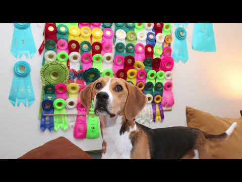 Emmy Going To Westminster Kennel Club Dog Show