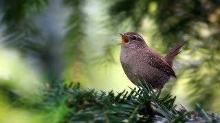 О чём поют птицы? Детям про птиц