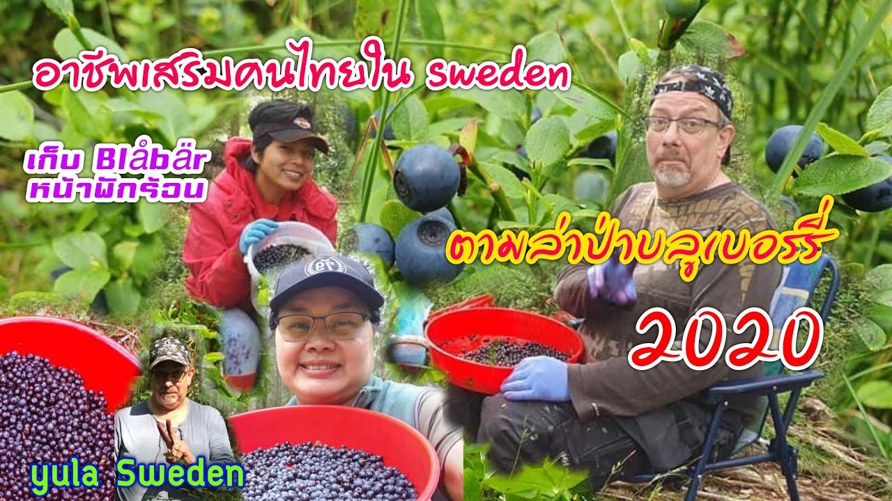22/7/2020  ชีวิตติดป่า เก็บบลูเบอร์รี่ ดกจนตาลาย❗️ ในสวีเดน ลูกใหญ่มาก❗️❗️🇸🇪/Yula Sweden