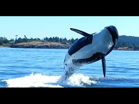 Orcas at Eagle Point San Juan Island WA