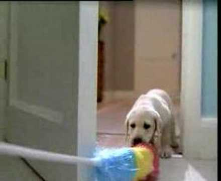Yellow Lab Stars in Budweiser Super Bowl Commercial