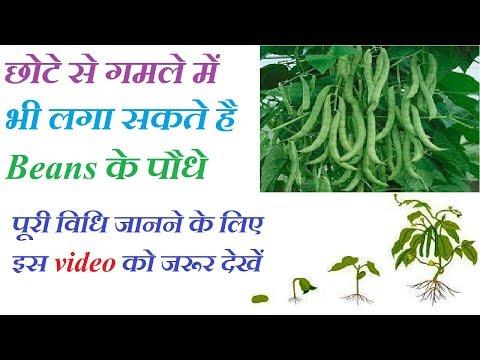 How To Grow Bean