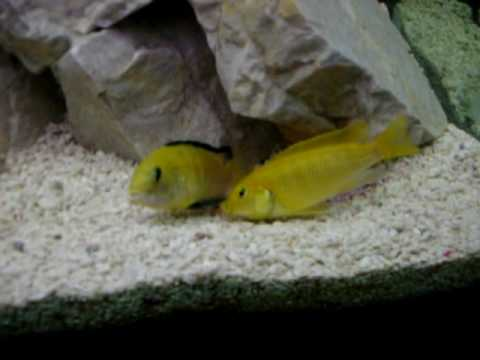 Malawi fish tank breeding youtube for Fish breeding tank