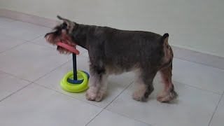 Fun & Amazing Dog Tricks by Whisky the smartest schnauzer ever! : Part 1