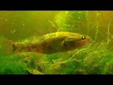 О чём молчат рыбы. 37.Бычки, их роль в реке!!!
