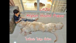 Lazy Afghan Hound Puppy สุนัขอัฟกันฮาวด์สุดขี้เกียจ น้องไม่อยากตื่น [คนสัตว์หมา]