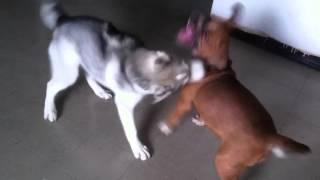 Siberian Husky Attacks American Pitbull 4 Months Old !!!