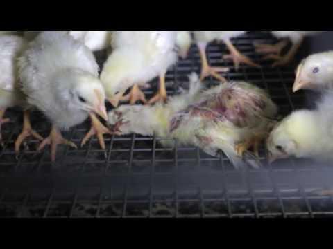 Ava's Story, Mercy For Animals,