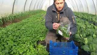 Harvesting Organic Winter Salad Green Earth Organics Galway.mov