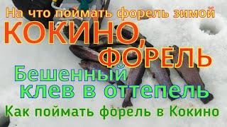 форель рыбалка кокино ФОРЕЛЬ КОКИНО БЕШЕННЫЙ КЛЕВ В ОТТЕПЕЛЬ