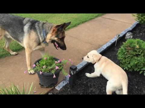 German Shepherd meets Lab Puppy