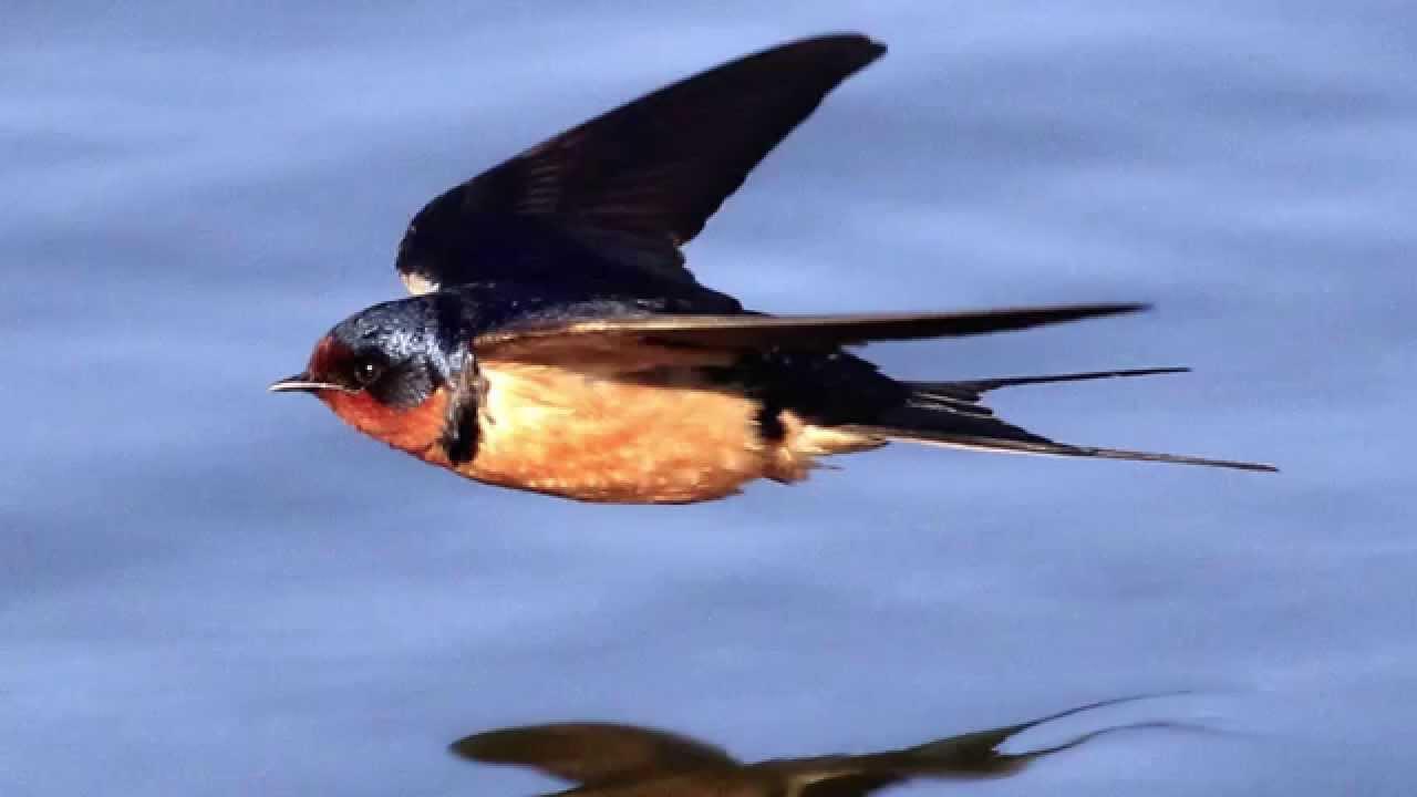 Звуки Природы. Пение птиц - Ласточка - Голоса птиц.