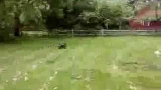 Miniature Pinscher Running And Playing !