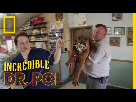 Bloodhounds vs. Porcupine | The Incredible Dr. Pol