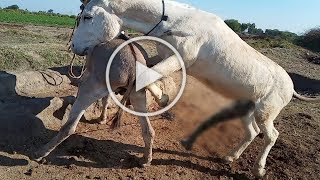 Donkey try meeting completion date  Animals meeting 2020 HD