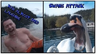 Swans attack us and man almost died laughing!