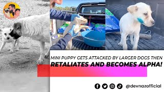 Mini puppy gets attacked by larger dogs then retaliates and becomes alpha!