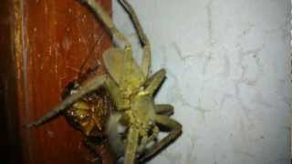 Cockroach-eating-spider Male Huntsman - Biggest Spider From Philippines