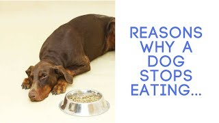 Discover Reasons Why a Dog Stops Eating