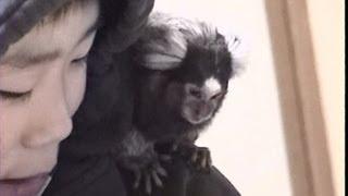 コモンマーモセット1 猿君お食事タイム♪ Tiny Pet Monkey Feeding time♪