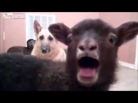 Collective Soul - Shine (Goat Edition) yeah