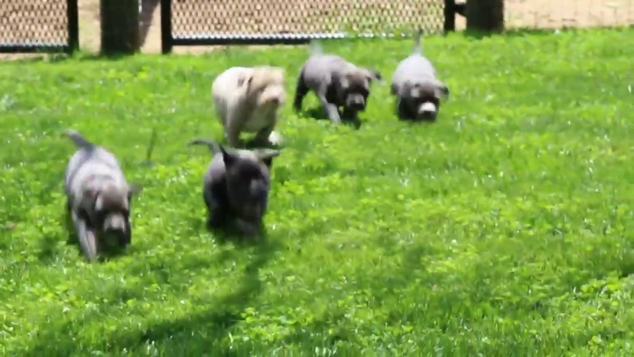 American Bully Puppies For Sale Youtube