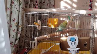 🎧🐦Как учить попугая разговаривать || Видеоуроки для попугая