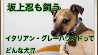 ペットで犬を飼おうと迷っている方へ〜イタリアン・グレーハウンド〜 世...