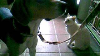 愛犬と愛猫の遭遇、3回目。 避妊手術してから?みるくは友好的になりま...