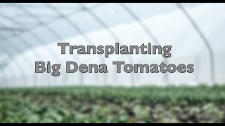 How to Transplant Tomatoes