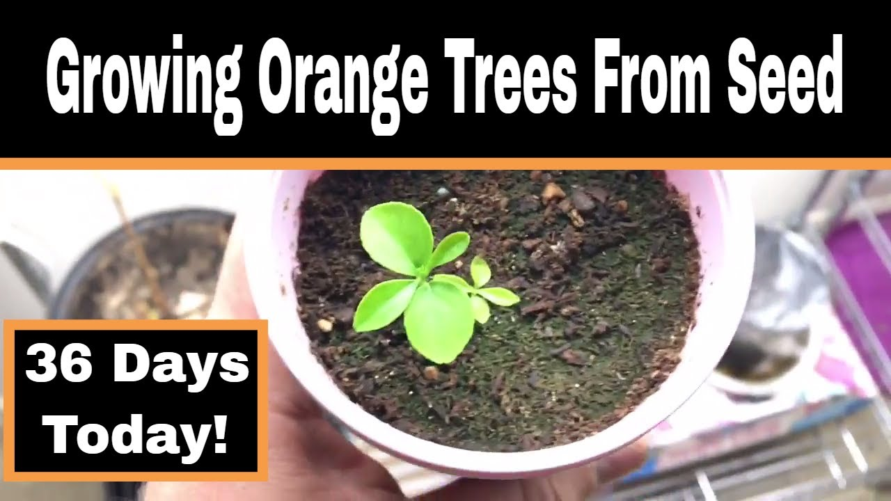 how to grow citrus trees from seed