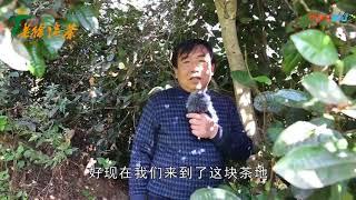 Gambar cover 【老徐谈茶】第六十八期:矮化过的古树茶没区别?错!连鲜叶味道都不一样 高清