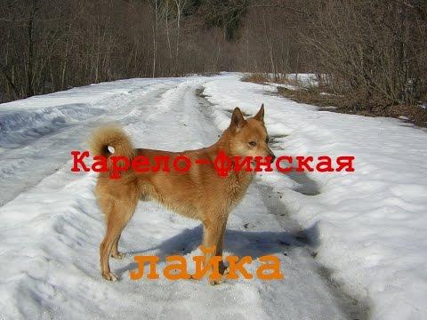 Карело-финская лайка кфл выбор щенка