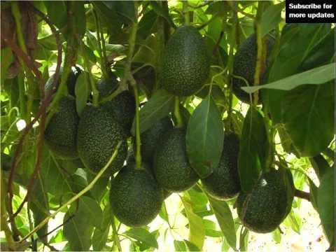how to make an avocado tree