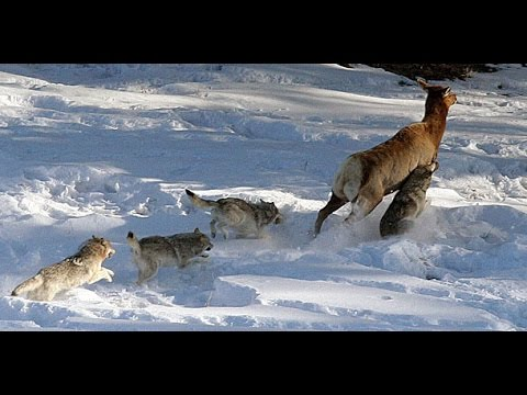 gray wolf hunting