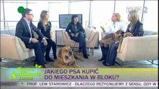 Mastif hiszpański Enzo  i szczeniaki w TVP